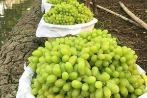 Di Buai Kesegaran Anggur Desa Wisata Senanggalih – Lombok Timur